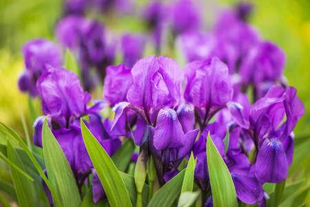 purple Japanese iris flowers