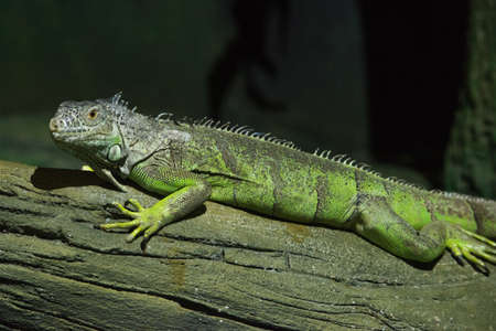 Green Iguana on branch Stock Photo
