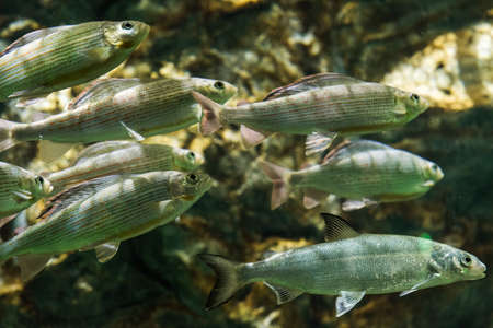 Grayling - Swimming freshwater fish Stock Photo