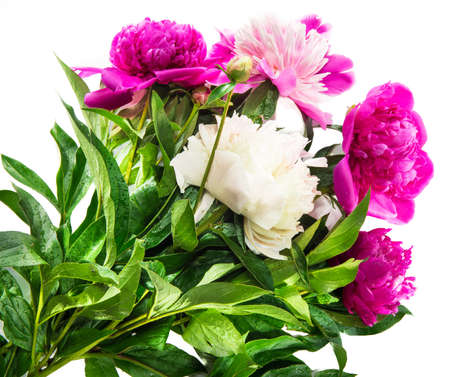 beautiful pink and white peony flower isolated white background with copy space