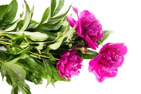beautiful pink peony flower isolated white background with copy space