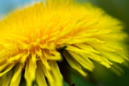 dandelion macro photo - close up nature flower