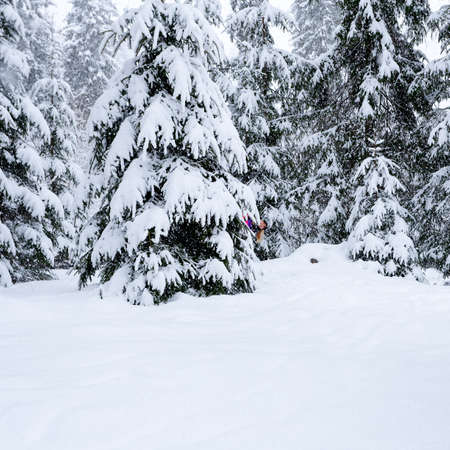 'hide out': Young woman playing hide and seek for the tree in the winter forest. Smiling girl in pink ski suit  looks out from behind a tree. Stock Photo
