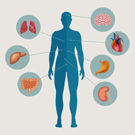 bowels: Human body with internal organs. Medical infographics elements. Vector illustration.