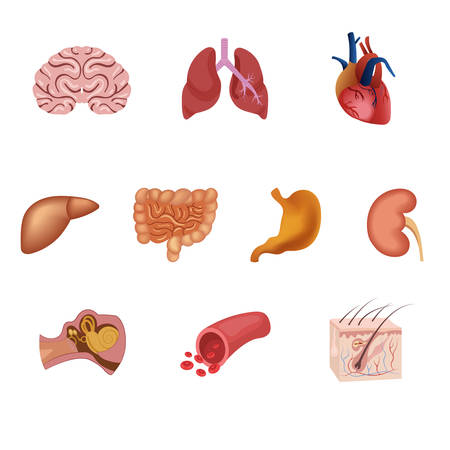 bowels: Different flat human organs set with brain heart lungs stomach bowels kidneys isolated on white background vector illustration