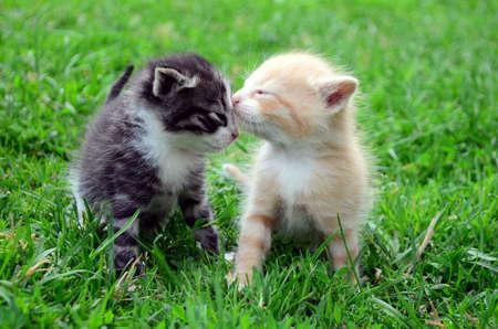 kotek: Słodkie kociaki kissing Zdjęcie Seryjne