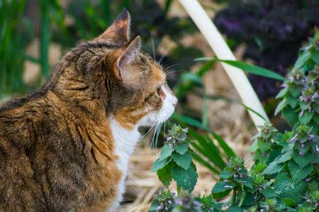 nepeta cataria: Un gatto con catnip