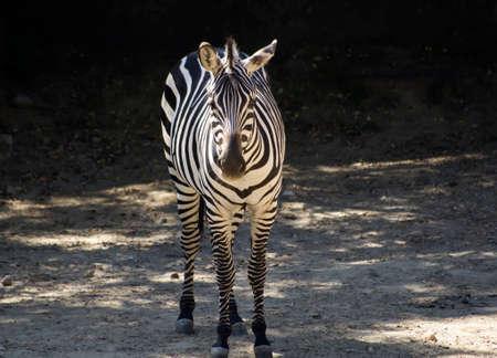 herbivore: A zebra Stock Photo