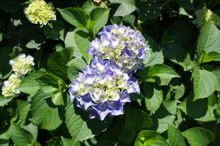A blooming hydrangea 版權商用圖片