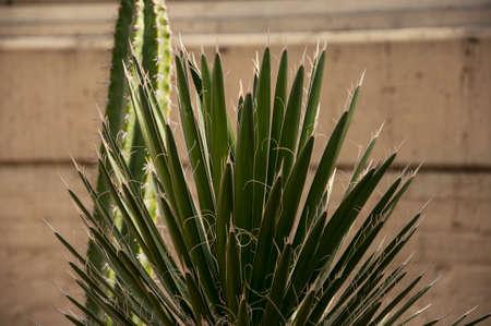 yucca: A Yucca tree Stock Photo