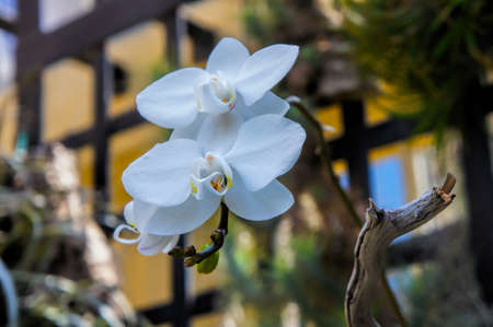 blue orchid: A blue orchid