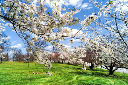 druid: Cherry Blossoms in Druid Hill Park