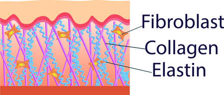 콜라겐, 엘라스틴 및 섬유 아세포 구조 세포의 벡터 일러스트 레이션