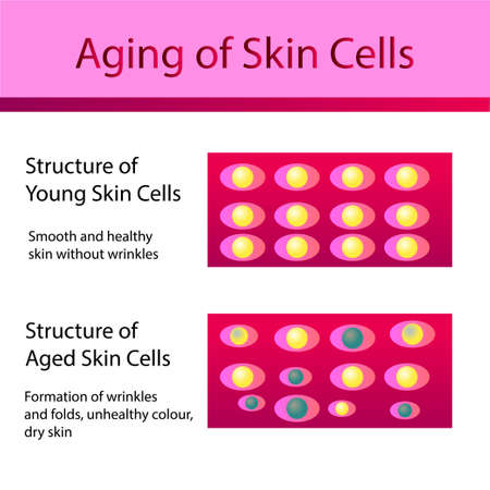 Two types of skin cells, young and aged skin. Vector illustration for cosmetology