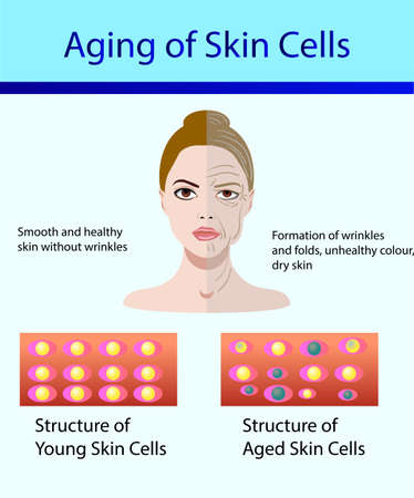 Two types of skin cells, young and aged skin