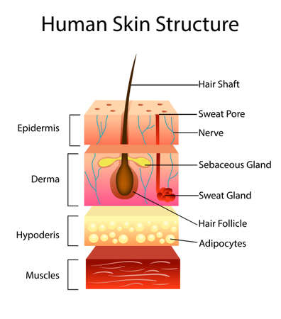 Human skin structure, vector illustration, layered scheme Vettoriali