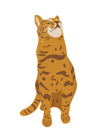 Vector illustration of Abyssinian Breeded cat with head up and Red Short Hair Sitting on White Background