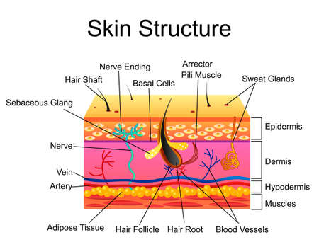 Human Skin structure, vector illustration isolated background