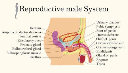 Tableau de l'éducation de la biologie pour le diagramme du système reproducteur masculin Vecteurs