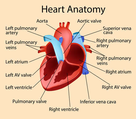 Vector anatomical illustration of Heart, Part of Human Organic.