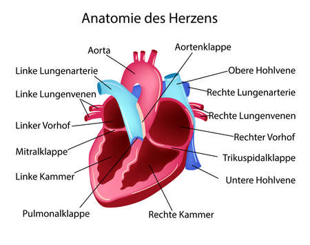 Vector illustration in german language with medical structure of heart and medical terms in German