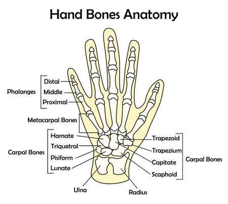 Hand Bone Anatomy with Detail Vector Illustration Ilustração