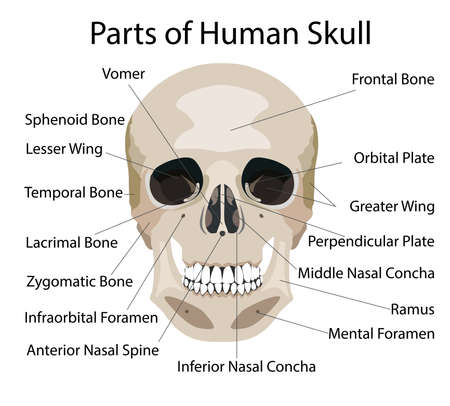 Parts of human skull, medical vector illustration isolated