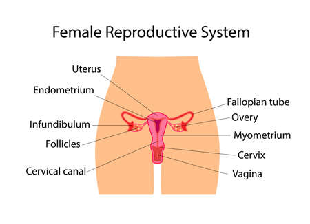 Female Reproductive System useful for education in schools and clinics Vectores