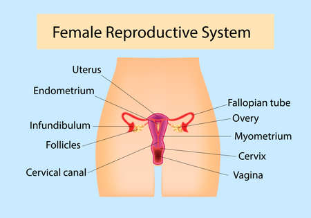 Female Reproductive System useful for education in schools and clinics Ilustração