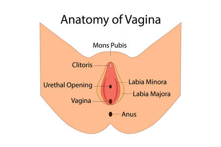 Anatomy of Vagina, medical vector illuatration isolated Ilustração