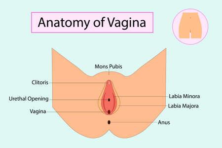 Anatomia della vagina, illustrazione vettoriale medica isolata Vettoriali