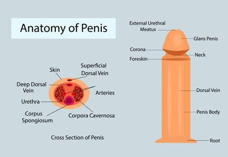 Medical anatomy of penis vector ilustration for medical purposes