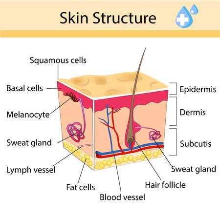 Human skin and hair structure. Anatomical sign. Beauty care isolated illustration