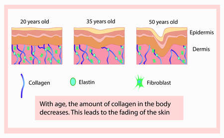 Vector illustration of structure cells with collagen, elastin and fibroblast, aging process
