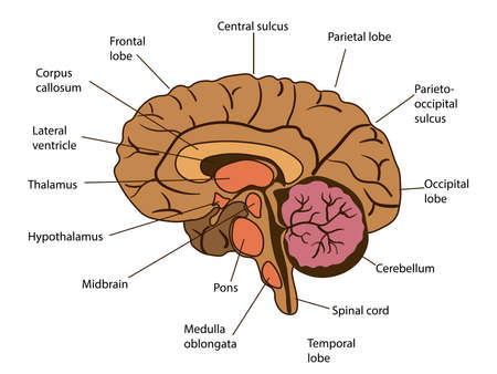 Vector isolated illustration of brain components in man head. Human brain detailed anatomy.