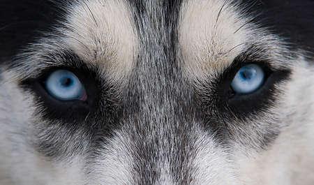 glance:  Acute  wolfish glance blue-eyed dog Husky Stock Photo