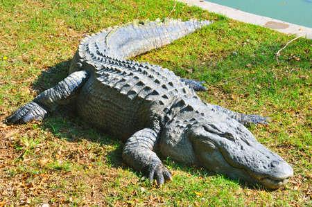 スイミング プールの横にある草を食べて後休んで大型アリゲータ 写真素材