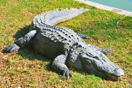 Large alligator resting after feeding on the grass beside the swimming pool 版權商用圖片