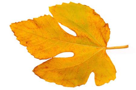Yellow autumn fig leaf on a white background black photo