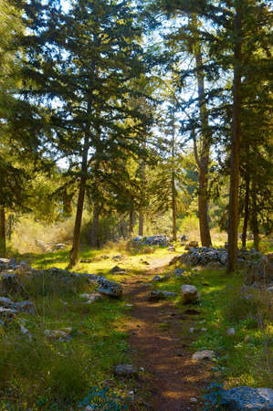 clearing the path: path leading to the clearing in the pine forest near the rocks and trails in the trees