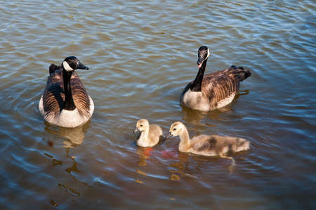 Two Canadian geese with young goslings swimming near the shore begging for food photo