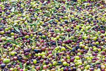 Olives collected from the trees in the large basket ready to be sent on a conveyor