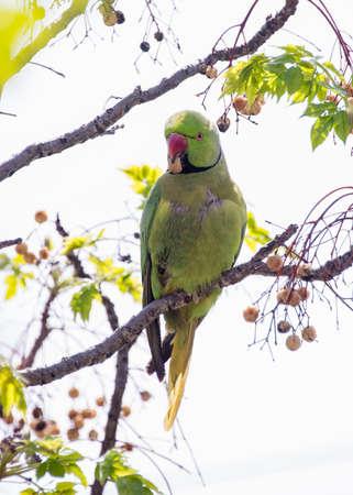 beak: Green parakeet sitting on a branch, holding in its beak berry Stock Photo