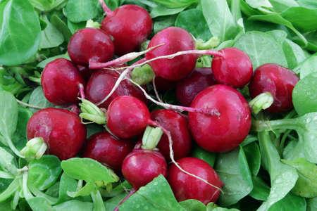 leaf lettuce: red wet radish on green salad