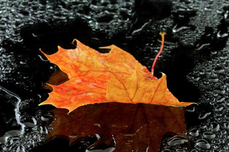 wet leaf: a wet maple leaf on a black background