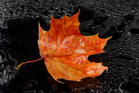 wet leaf: a wet maple leaf on black background