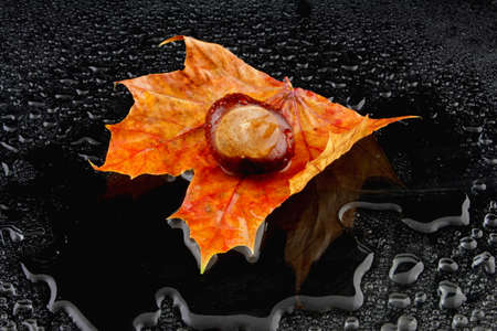 water chestnut: a wet maple leaf with a chestnut on a black background Stock Photo