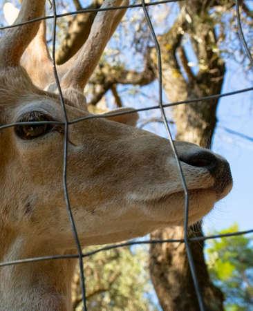 Deer portrait sideways. The stag's gaze
