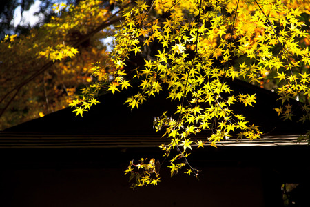 quick hedge: beautiful autumn park with golden-leaved trees