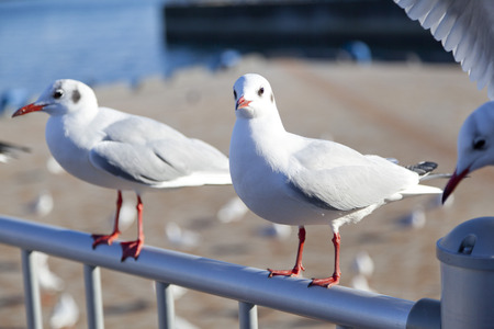 blackhead: Seagulls at a harbor in Kobe, Japan